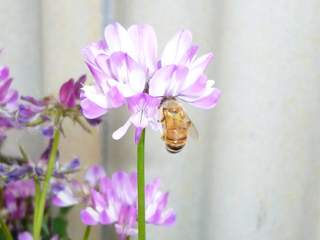 蜂の酵素が花みつをはちみつにする
